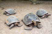 stock photo of tortoise  - Four giant tortoises on Isabela Island in the Galapagos Islands in Ecuador - JPG