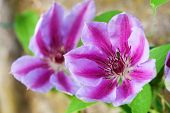 picture of buttercup  - Beautiful pink clematis close - JPG