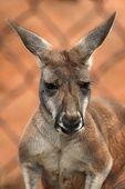 picture of kangaroo  - Red kangaroo  - JPG