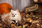 pic of pomeranian  - Adorable pomeranian in the leaves - JPG