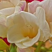 stock photo of pale  - pale white freesia flower close - JPG