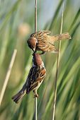 picture of bird fence  - The Eurasian tree sparrow  - JPG