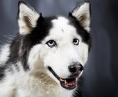 picture of husky sled dog breeds  - Cute Alaskan Malamute Husky breed dog standing and smiling - JPG