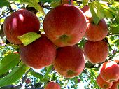 stock photo of apple tree  - a cluster of apples hanging from a apple tree - JPG