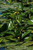 image of water lily  - Yellow Water - JPG