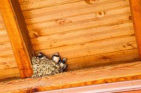 foto of swallow  - Swallow baby birds in nest under a wooden shelter - JPG