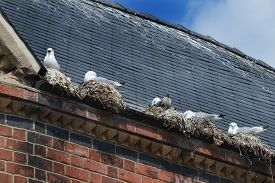 stock photo of excrement  - Seagulls nesting in gutter on building roof in town center - JPG
