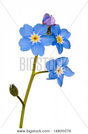 forget-me-not single flower isolated on white background