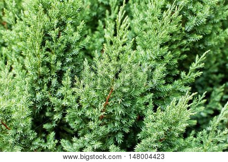 Pattern of beautiful green Juniperus chinensis stricta leaves. Garden design and landscaping. Selective focus