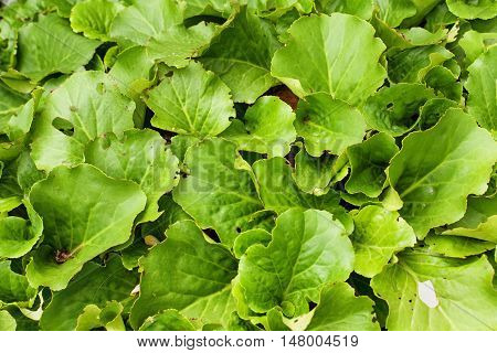Bergenia crassifolia Siberian badan (Saxifraga crassifolia Mongolian tea) green foliage background. Top view