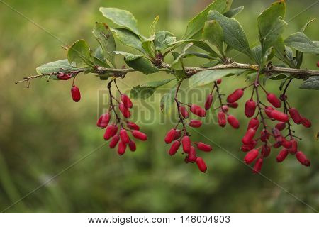 Barberry branch in autumn vivid bright natural floral autumn background