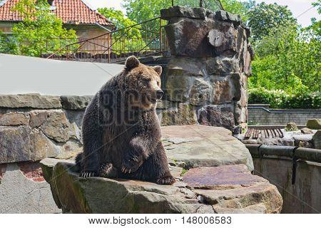 Big brown bear in Kaliningrad Zoo. In the Russia.