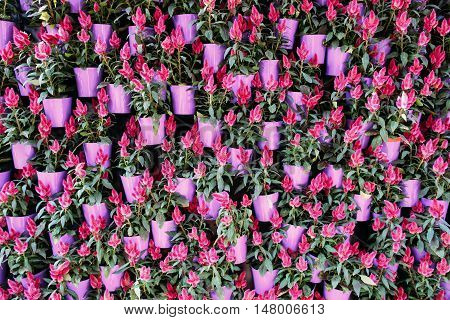 Beautiful pink flowers in pots background. Plenty of fresh bright rosy blossom, floral backdrop. Summer blooming, garden, florist shop concept