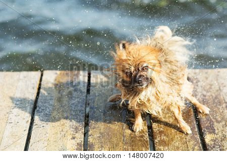 Pomeranian Shakes Water From His Fur