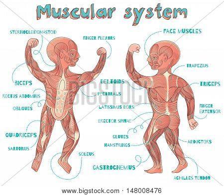 Human muscular system for kids. Vector color cartoon illustration. Human muscles scheme.