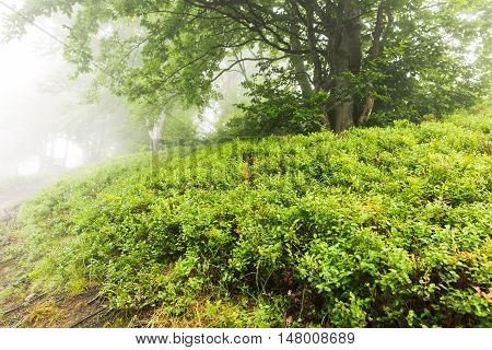 Tree In The Fog Surrounded By Blueberry Bushes