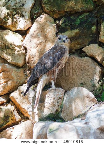 Long-Legged Buzzard - Buteo rufinus - is sitting on a rock and looking out for prey