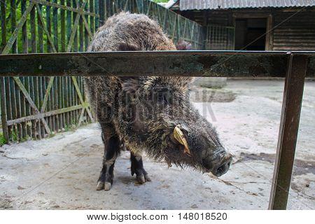Wild boar in the Kaliningrad Zoo. In Russia.