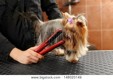 Canine hairdresser straightening dog's hair in salon