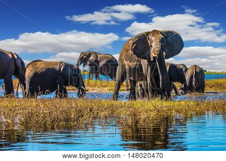 Botswana Chobe National Park, the river Zambezi. Herd of elephants come to drink