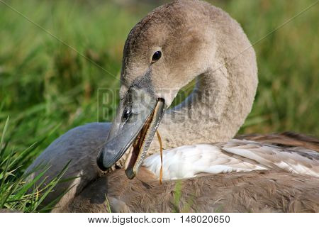 A Mute Swan cygnet chewing on stems of grass