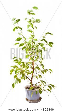 small green tree in pot isolated on white background