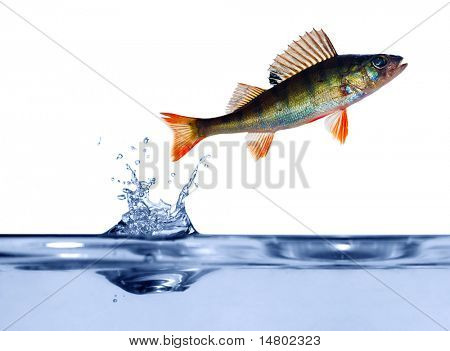 small perch is jumping above blue water