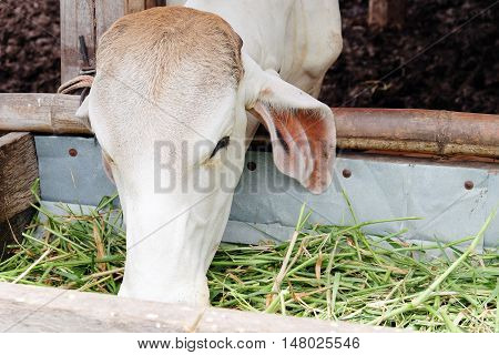 image of Cow feeding grass in cowshed
