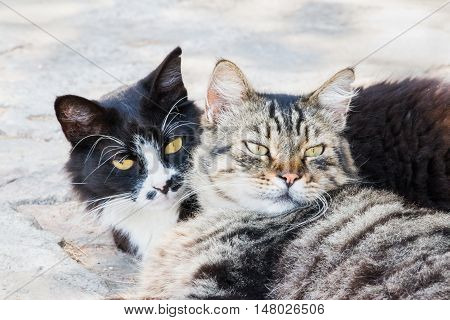 Portrait of big fluffy homeless cats laying outdoor and hugging each other. Attractive eyes long whiskers. They need help home treatment care