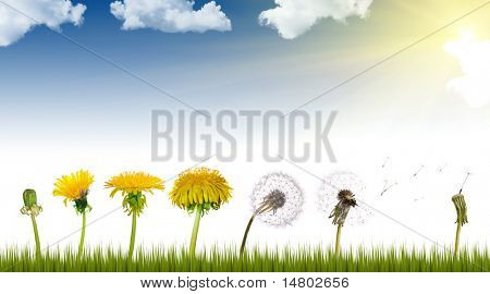 chain of the dandelion flowers from beginning to senility under sun