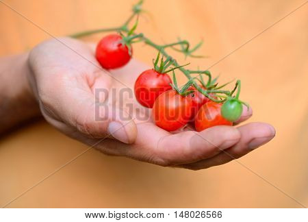 Fresh Cherry Tomatoes (branch Of Cherry Tomatoes) In A Hand Farmer