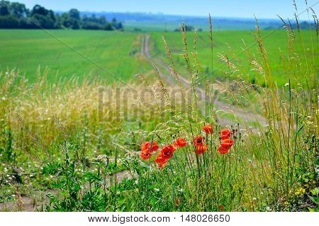 Summer Landscape With Red Poppies In The Foreground