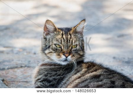Portrait of big fluffy homeless cat laying outdoor. Attractive eyes long whiskers. Needs help home treatment care