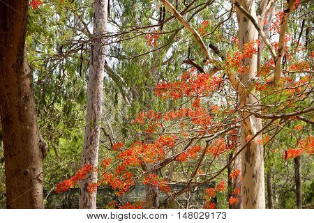 Green foliage bare tree trunks and red Mayflower bloom at Bannerughatta National Biological Park near Bengaluru Karnataka India Asia