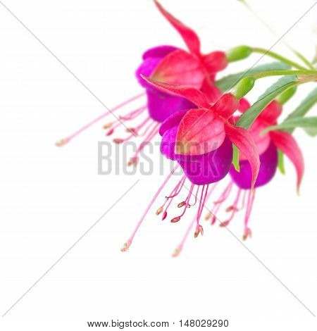 Fuchsia violet flowers and buds close up isolated on white background