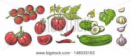 Cucumbers Garlic Chili and Tomato - whole half slices leaf and flower. Isolated on the white background. Vector color hand drawn vintage engraving illustration for poster label menu web.