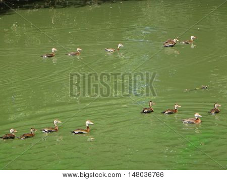 brown ducks swimming in a green pond