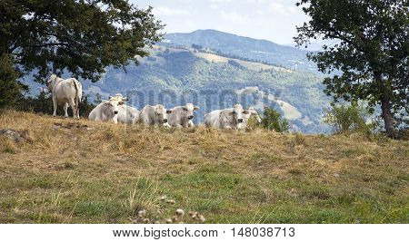 Group of lazy cows resting in the pasture over the hills around Bagno di Romagna (Apennine Alps, Emilia Romagna, Italy). Color image.