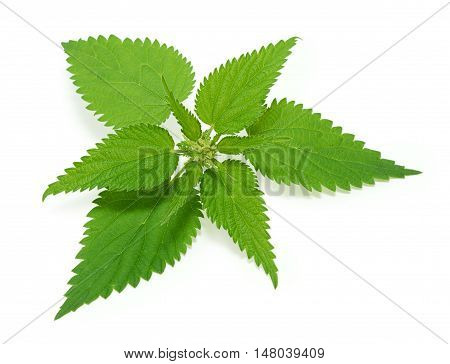 Green nettle isolated on the white background