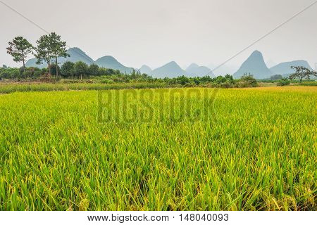 Lush green rice field in rainy overcast weather at countryside rural Yangshuo County China.