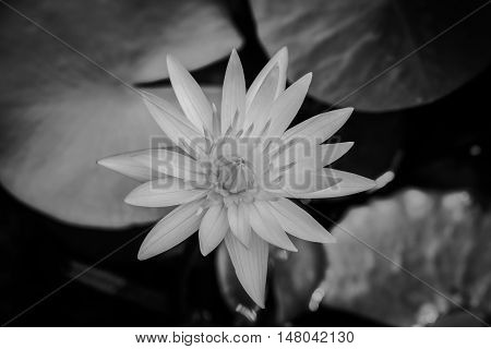 Beautiful white lotus blooming in pond black and white.