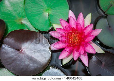Close up beautiful pink lotus blooming in pond.