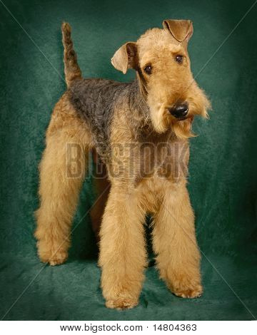 A portrait of a Airedale Terrier