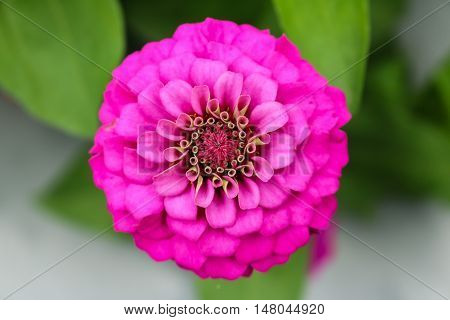 Pink zinnia close up blooming in field plant.
