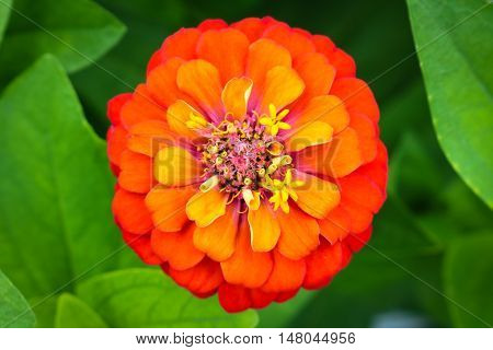 Orange zinnia close up blooming in field plant.