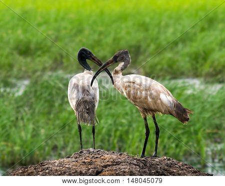 Pair of wood stork birds crossing beaks