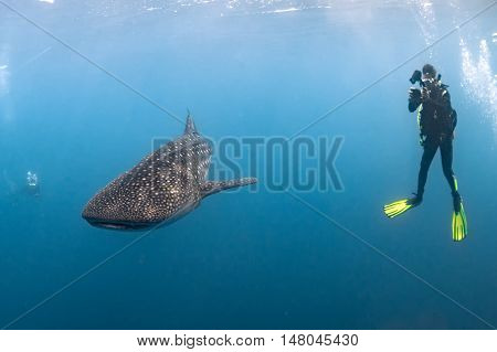 Whale Shark Underwater Approaching A Scuba Diver