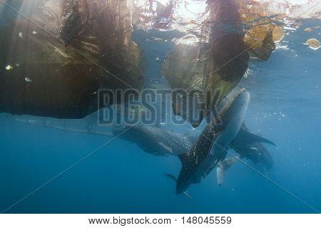 Whale Shark Under Fishermen Platform In Papua