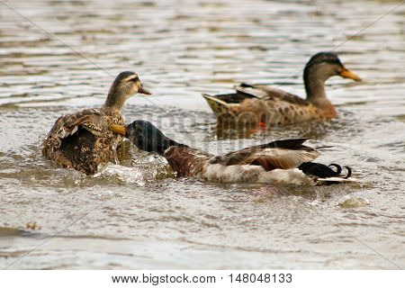 A male Mallard drake attacking a pair of females