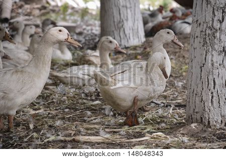 Domestic ducks on a farm in the village outdoors